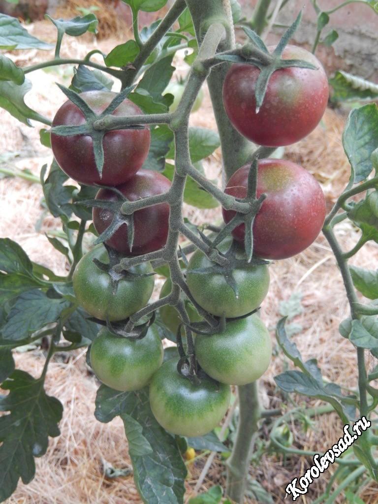 Томат Черная вишня