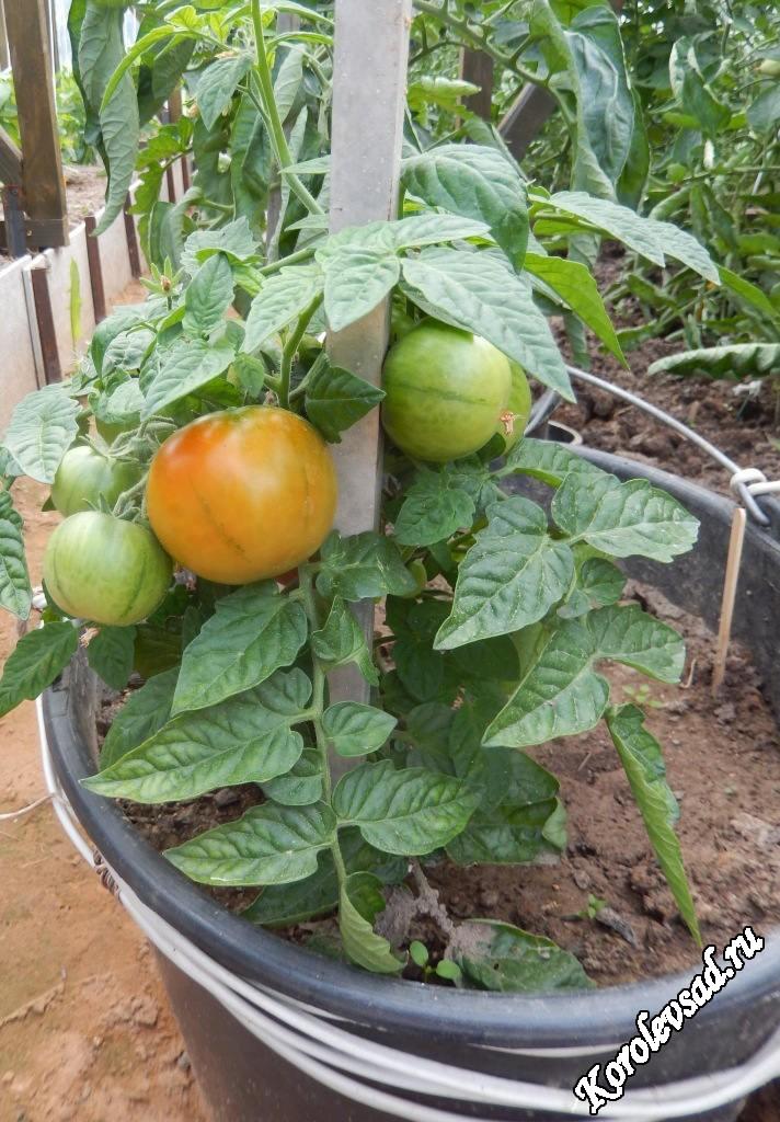 томат июньский