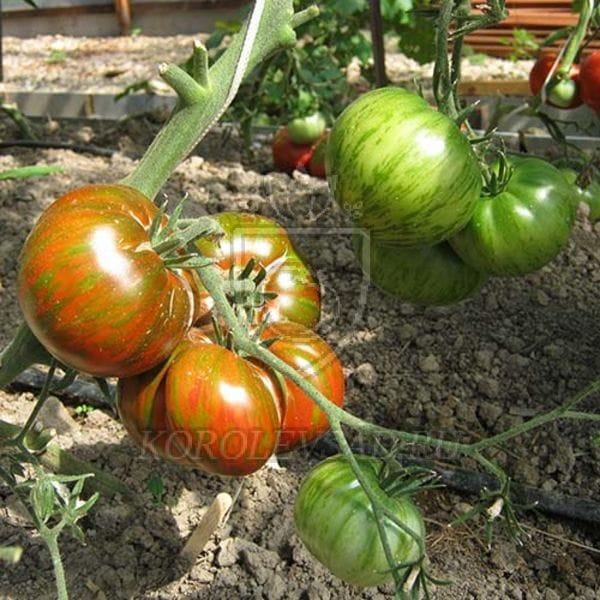 сорт томата шоколадный полосатый