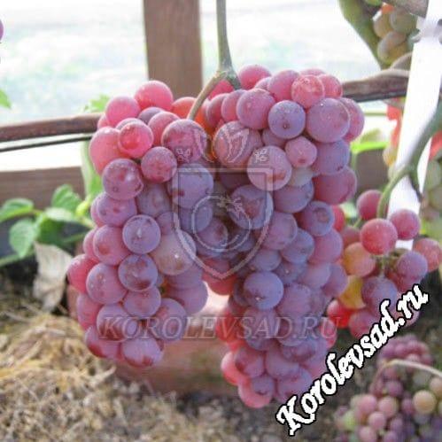 Виноград Сомерсет сидлис
