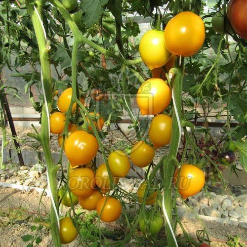 Томат Анна Герман характеристика и описание сорта его урожайность с фото