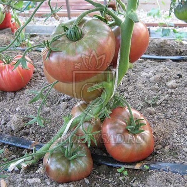 помидоры углерод отзывы фото используется для создания
